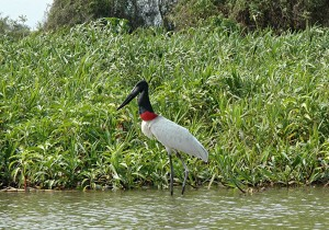 jabiru-wallpaper-4