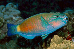 parrot-fish.0