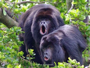 belize-baboon-sanctuary